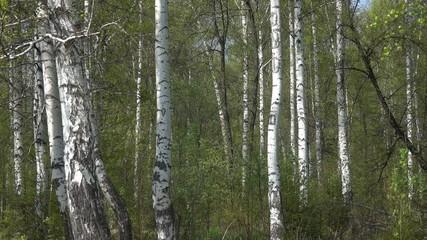 Wall Mural - Summer birch forest in Russia, 4k