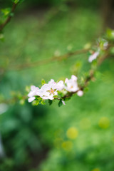 Blossoming branch with blurred background. Spring concept