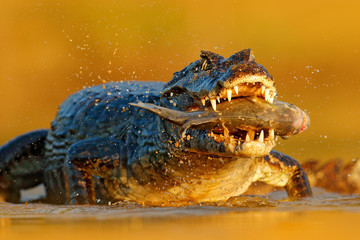 Yacare Caiman, crocodile with piranha fish in open muzzle with big teeth, Pantanal, Brazil. Detail portrait of danger reptile. Animal catch fish in river water, evening light.