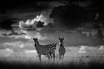 Fotomurales - Zebra with dark storm sky. Burchell's zebra, Equus quagga burchellii, Nxai Pan National Park, Botswana, Africa. Wild animal on the grass meadow. Black and white Africa.
