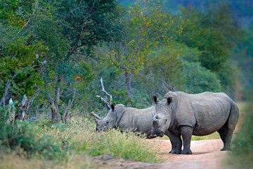 Rhino in forest habitat. Two White rhinoceros, Ceratotherium simum, with cut horns, in the nature habitat, Kruger NAtional Park. Africa. Wildlife scene from nature.  Big animal in the forest.