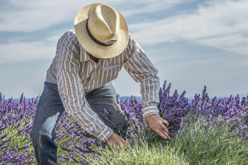 Lavender Harvest Hand blooming flowers of Lavender- Provence, France