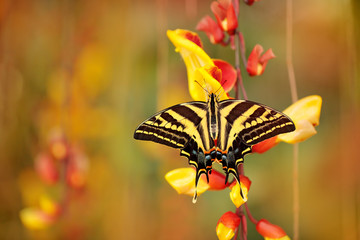 Butterfly sitting on the red yellow flower. Butterfly Papilio pilumnus, in the nature green forest habitat, south of USA, Arizona.