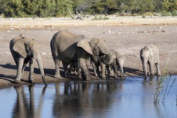 Herd of African elephant, Loxodonta africana, drinking water in waterhole, Etosha National Park, Namibia