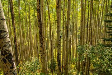Aspen trees in Maroon Bells