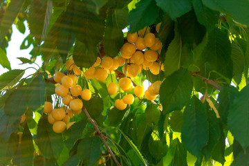 fruit, tree, green, food, nature, grape, agriculture, grapes, plant, ripe, vineyard, bunch, leaf, vine, yellow, garden, branch, leaves, orange, harvest, wine, white, berry, berries, summer