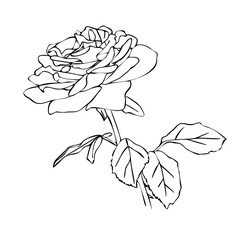 Vector illustration, isolated rose flower in black and white colors, outline hand painted drawing