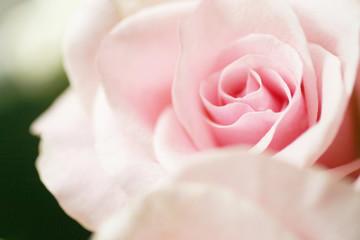 Blurred rose flower petal close up background