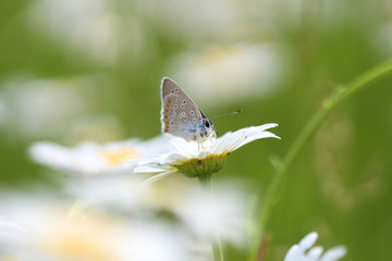 Chamomile and Butterfly