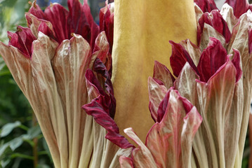 Corpse flower Titanium amorphophallus