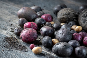 Group of homegrown red and purple potatoes in rustic setting with dirt
