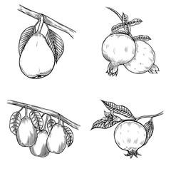 Pomegranate hand drawn
