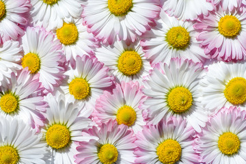Bright background of white and pink field chamomiles