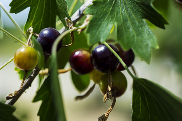 Black currant Bush with berries.