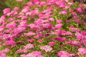 Printed roller blinds Lilac flowering Patagonian verbena