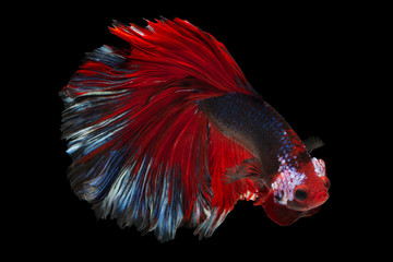 Acrylic Prints Fish siamese fighting fish