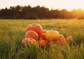 orange pumpkins on grass at sunset