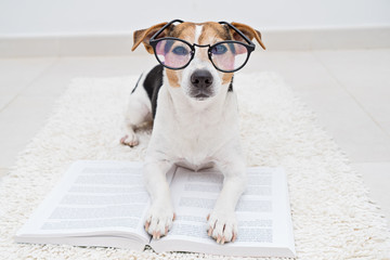 Smart cute jack russell terrier dog lying with open book in eyeglasses on white carpet and looking at camera. Back to school concept