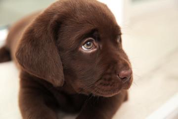 Chocolate Labrador Retriever puppy, closeup view