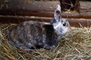 Multicolored domestic pygmy rabbit