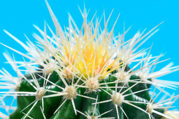 White and yellow thorns of cactus plant in macro key picture, on turquoise color background. Great close up of globe shaped cactus with long thorns. Top view shot on golden barrel cactus cluster.