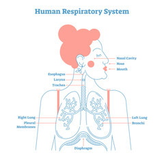 Human Respiratory System anatomical line style artistic vector illustration, medical education cross section diagram.