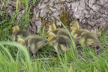 Goose babies