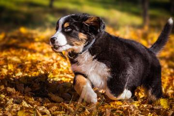Berner Sennenhund Welpe beim toben