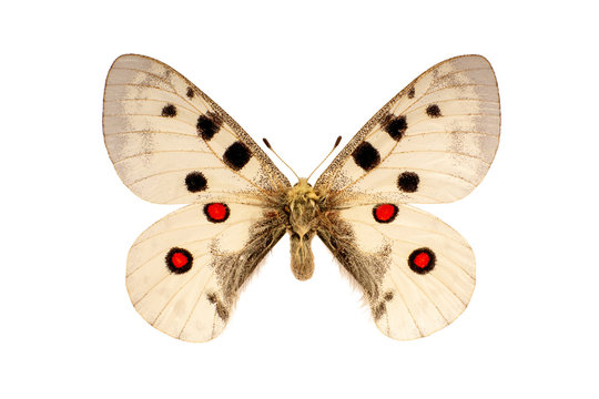 the Parnassius Apollo butterfly was on the white background