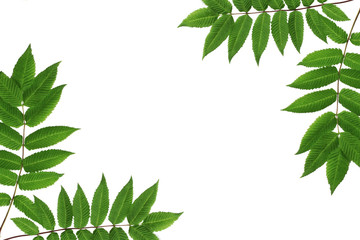 Layout of green leaves isolated on white background, nature concept mockup.