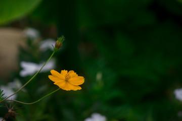 Flor do campo amarela close-up