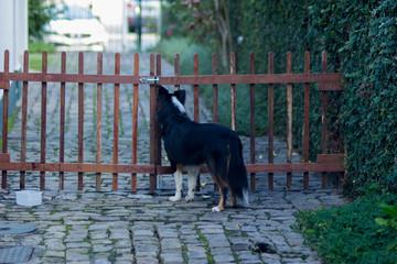 Cachorro preso no portão - Border Collie