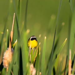 A male Common Yellowthroat in the cattail marsh in summer at Alamosa National Wildlife Refuge in southern Colorado