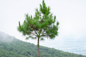 one tree have a life on high mountain 1200 meter