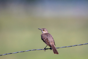 Sage Thrasher on a slanted wire fence in summer in the San Luis Valley of southern Colorado