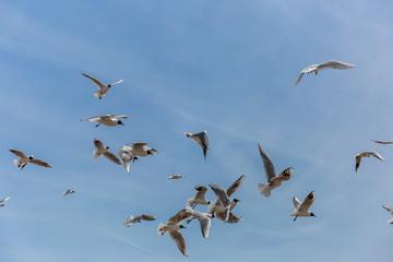 Black headed gull on english seaside