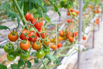 トマト農家のビニールハウス