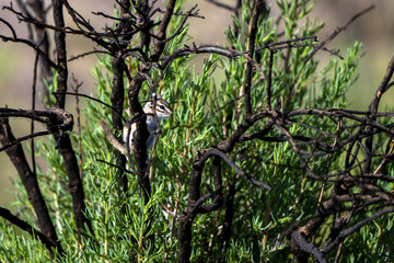 Tiny Least Chipmunk perches in a scrubby bush at Alamosa National Wildlife Refuge in southern Colorado