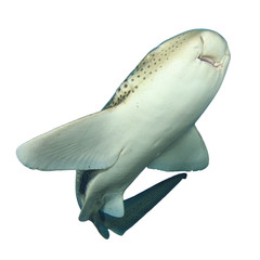 Leopard Shark (Zebra Shark) isolated