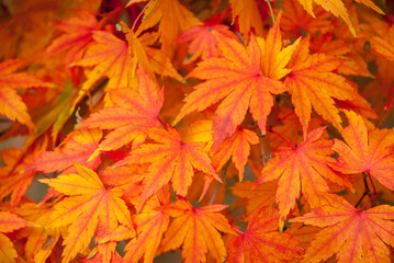 Orange leaves of a Japanese Maple tree in detail