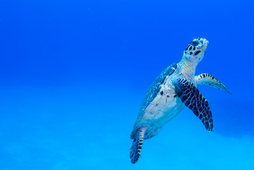 A hawksbil turtle slowly cruises through the beautiful warm water of the Caribbean Sea. The peaceful creature feeds on coral in the nearby reef Wall mural