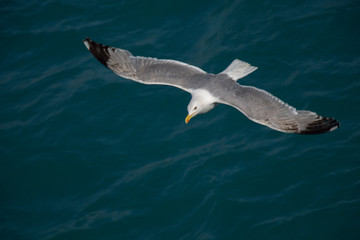 Single seagull flying over sea waters