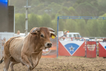 Bull after disposing of the rider