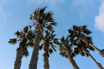 Upward view of tall majestic palm trees with blue sky background