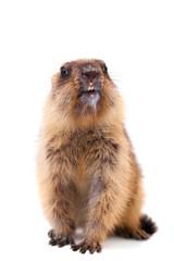 The bobak marmot cub on white