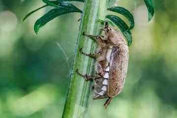 Melolontha sp. Escarabajo sanjuanero.