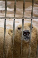 Fototapete - The polar bear behind bars in the zoo