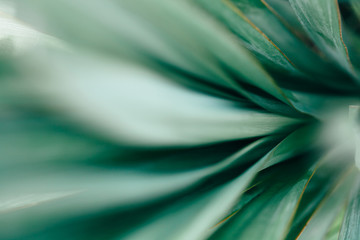 Macro photo of agave leaves.