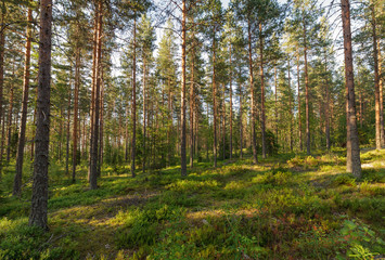 Forest landscape in Finlad at summer day