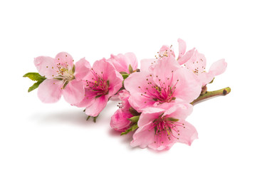sakura flowers isolated Wall mural